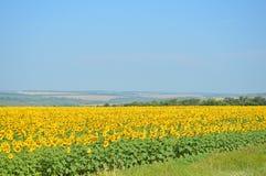 Het ontspannen het de zomerlandschap met een gebied fulled van zonnebloem stock afbeeldingen