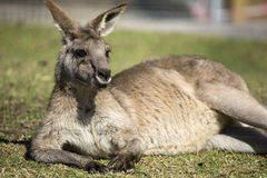 Het ontspannen Kangoeroe Stock Afbeeldingen