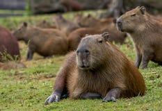 Het Ontspannen van Capybara Royalty-vrije Stock Foto