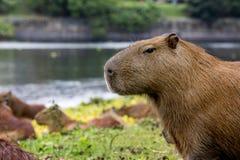 Het Ontspannen van Capybara Royalty-vrije Stock Afbeeldingen