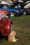 Het ontspannen van de hond naast uitstekende Britse auto bij toont Royalty-vrije Stock Foto's