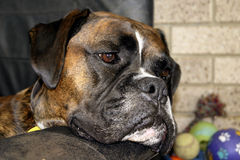 Het Ontspannen van de Hond van de bokser Royalty-vrije Stock Foto's