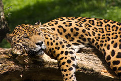Het ontspannen van de jaguar Royalty-vrije Stock Foto's