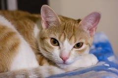 Het ontspannen van de kat op bed Stock Fotografie
