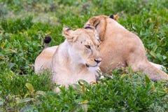 Het Ontspannen van de leeuwin door een Waterhole Royalty-vrije Stock Fotografie