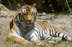 Het ontspannen van de tijger Stock Afbeelding
