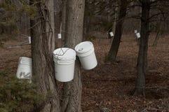 Het onttrekken van bomen voor ahornstroop Royalty-vrije Stock Afbeeldingen