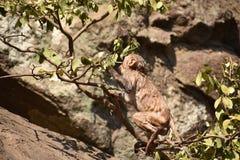 Het ontzagwekkende kijken van aap het spelen dichtbij een waterpool Hij klampt zich op grote rechte steen na bad & daar van het g royalty-vrije stock foto