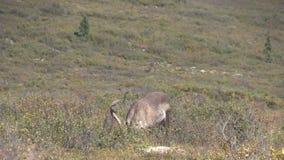 Het onvruchtbare de Stier van de Grondkariboe Weiden stock footage