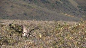 Het onvruchtbare Grondkariboe Weiden stock footage