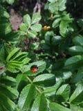 Het onzelieveheersbeestje bij het groene blad stock foto
