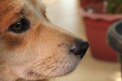 Het oog en de neus van mijn bruin Royalty-vrije Stock Fotografie