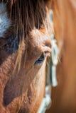 Het Oog/het gezicht van het paard Royalty-vrije Stock Afbeeldingen
