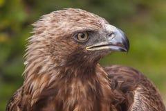 Het Oog van adelaars Royalty-vrije Stock Fotografie