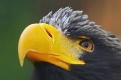 Het oog van adelaars Royalty-vrije Stock Foto's