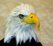 Het oog van de adelaar Royalty-vrije Stock Fotografie