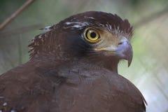 Het oog van de adelaar Royalty-vrije Stock Afbeeldingen
