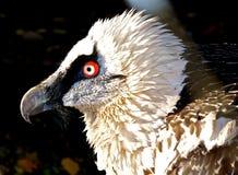 Het oog van de adelaar. Stock Afbeelding