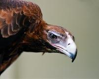 Het oog van de adelaar Royalty-vrije Stock Afbeelding