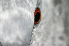 Het oog van de duif Stock Afbeeldingen