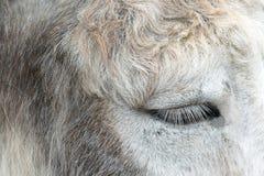 Het oog van de ezel Royalty-vrije Stock Afbeeldingen