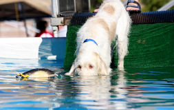 Het oog van de hond aan oog met stuk speelgoed in water Stock Fotografie
