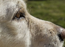 Het oog van de huisdierenhond met blonde wimpers Stock Afbeeldingen
