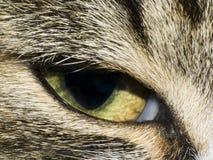 Het oog van de kat Stock Foto
