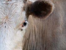Het oog van de koe Royalty-vrije Stock Afbeeldingen