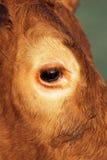 Het oog van de koe Royalty-vrije Stock Afbeelding