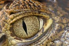 Het oog van de krokodil Stock Foto's