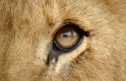 Het oog van de leeuw Stock Foto