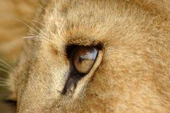 Het oog van de leeuw Royalty-vrije Stock Afbeelding