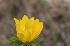 Het Oog van de de lentefazant stock fotografie