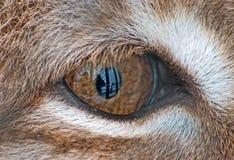 Het oog van de lynx Royalty-vrije Stock Afbeelding