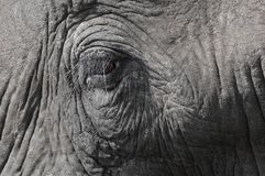 Het oog van de olifant Stock Foto