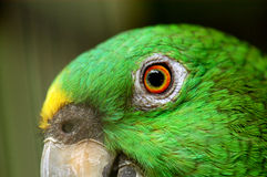 Het oog van de papegaai in het park Royalty-vrije Stock Afbeeldingen