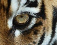 Het oog van de tijger Stock Foto's