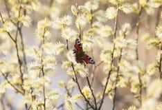 het oog van de vlinderpauw zit op de pluizige kleuren van Gol Stock Afbeelding