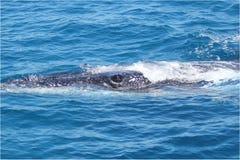Het oog van de walvis Stock Foto