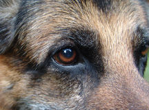 Het oog van Duitse herders Stock Fotografie