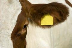 Het oog van een koe Stock Foto