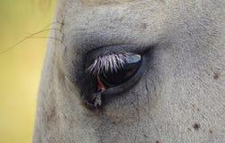 Het oog van het paard Royalty-vrije Stock Foto