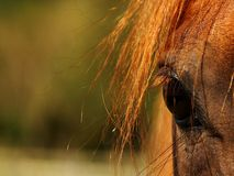 Het oog van paarden Stock Foto's
