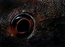 Het oog van vissen Stock Afbeeldingen