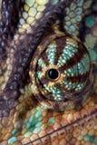 Het oogmacro van het kameleon Stock Afbeeldingen
