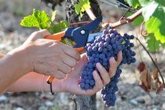 Het oogsten in het gebied van Bordeaux in Frankrijk royalty-vrije stock foto's