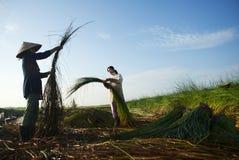 Het oogsten lepironia Stock Foto