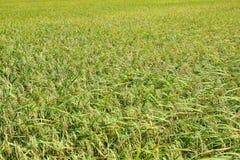Het oogsten padieveld Kant de Zuid- Indische van het land royalty-vrije stock foto's
