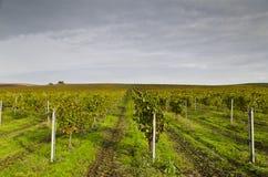 Het oogsten periode in de wijngaard royalty-vrije stock foto